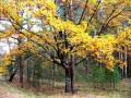 Памятник природы. Причудливо сплетенные дуб и сосна